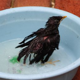 Javan Myna chick: 3. Bathing
