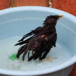 Javan Myna chick: 3. Bathing