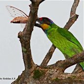Gold-whiskered Barbet eating a cicada