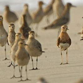 Sighting of Oriental Plover