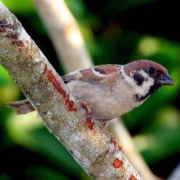 Eurasian Tree Sparrow feeding fledglings