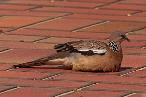 Spotted Dove sunbathing
