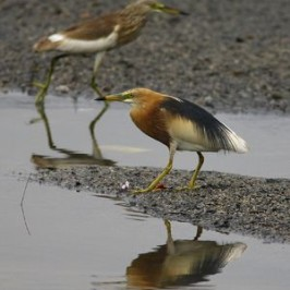 Chinese Pond Heron and its status
