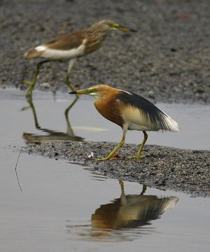 Chinese Pond Heron and its status