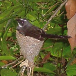 Antics of an Indian fantail