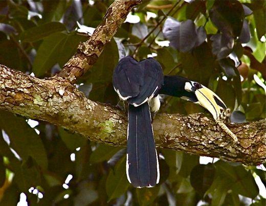 Oriental Pied Hornbill manipulating hairy caterpillar