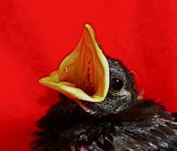 Javan Myna chick: 2. Care and development