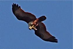 Brahminy Kite eating on the wing