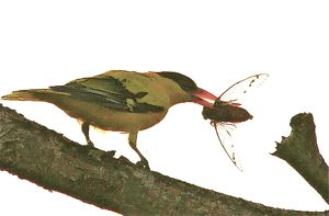 Black-naped Oriole catching a cicada