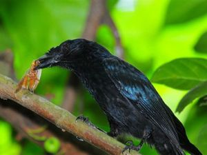 Greater Racket-tailed Drongo eating forest cockroach