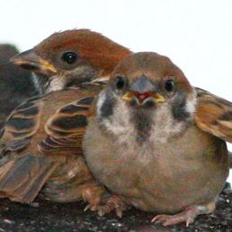 Eurasian Tree Sparrow feeding fledglings