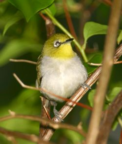 Oriental White-eye taking a bath