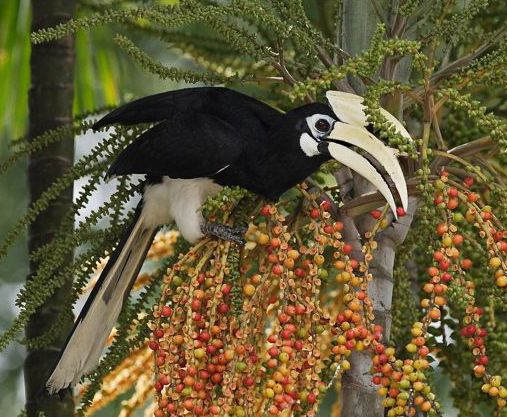 The Hornbills are nesting again at Changi