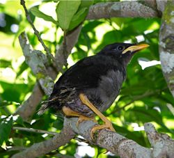 Another Javan Myna chick picked up: 2. Release