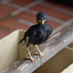 Javan Myna chick: 4. Snatched by a cat