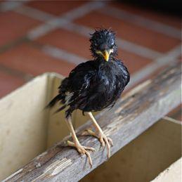 Javan Myna chick: 4. Predated