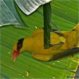 Black-naped Oriole manipulating the Banana Skipper