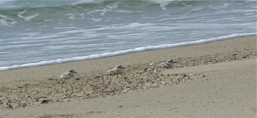 Encounter with 'White-faced' Plover at Changi