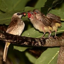 Yellow-vented Bulbul: Feeding fledglings in the rain