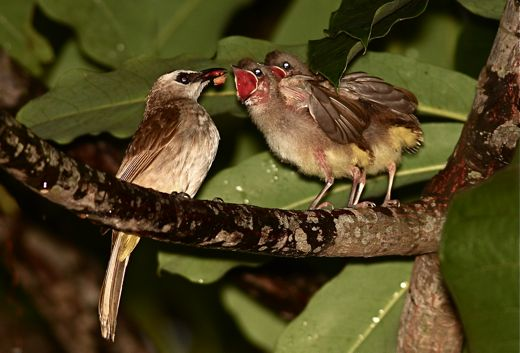 Yellow-vented Bulbul: Feeding fledglings in the rain