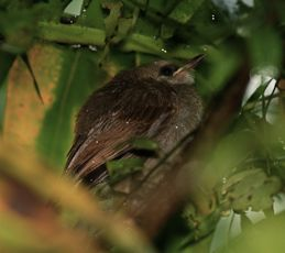 Yellow-vented Bulbul bathing in the rain