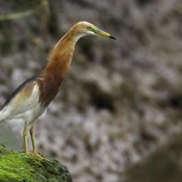 The Javan Pond Heron in Singapore