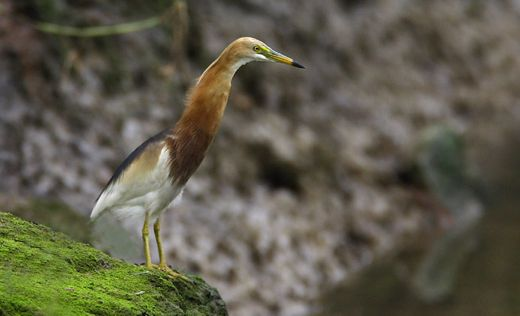The Javan Pond Heron in Singapore