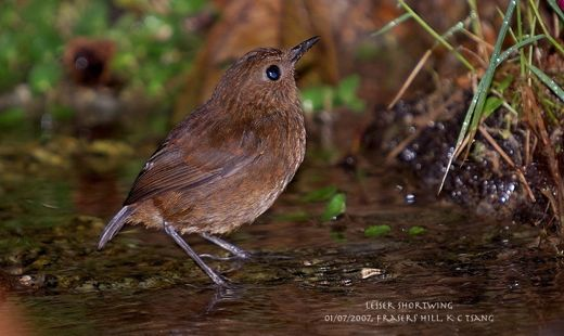 Lesser Shortwing at Fraser's Hill, Peninsular Malaysia