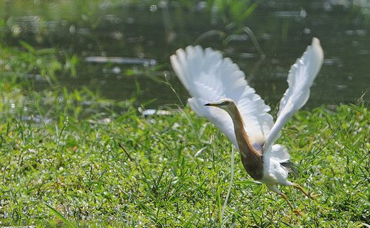 Javan Pond Heron in flight