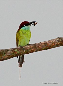 Blue-throated Bee-eater handling a bee