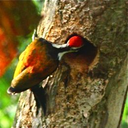Barbet, woodpecker, myna and an empty nesting cavity