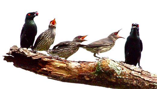 Asian Glossy Starling feeding fledglings