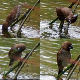 Scaly-breasted Munia feeding on green alga