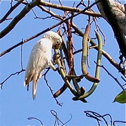 Tanimbar Corella eating golden shower fruits