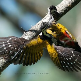 Feasting on a dead Common Flameback
