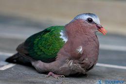 Emerald Dove crashes into a house