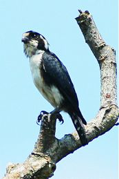 Black-thighed Falconet feasting on a bird
