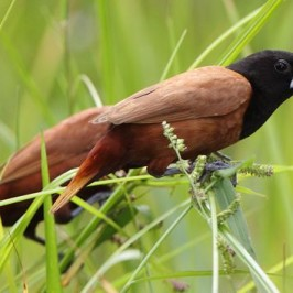 Munia eating seeds of grasses III