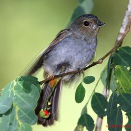 Rufous-vented Niltava fledgling learning to forage