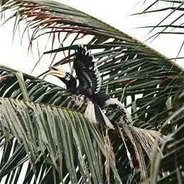 Oriental Pied Hornbill sunbathing