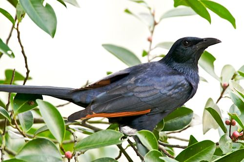 Red-winged Starling, another escapee for Singapore