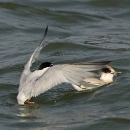Little Tern feeding fledgling in the water