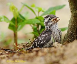 Brown-capped Woodpecker chick fell from its nest