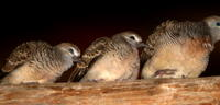 ZEBRA DOVES – 9. The family is still around