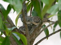 ZEBRA DOVES – 15. Yes, the doves are breeding again!