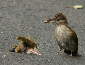 Tragedy of a road kill: Mountain Bulbul II