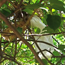 Yellow-vented Bulbul: Tissue paper nest