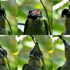 Gold-whiskered Barbet feeding on morinda