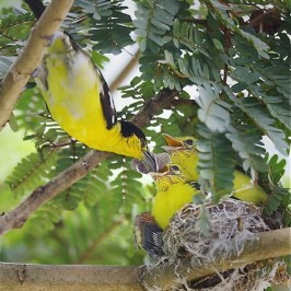 Common Iora and chicks