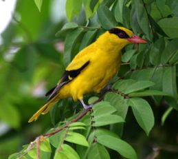 Birds of the Solstice: Calls of the Black-naped Oriole